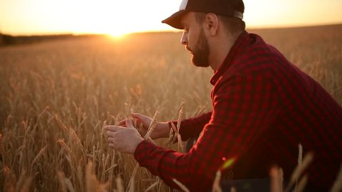 Agronomist man holding ears of wheat near his face and nose in golden wheat field. Happy farmer sniffs his crop caring about the rich harvest on sunset. Dolly panorama