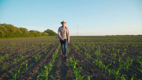 Happy farmer walks in the maize field and relaxes with smile on face and outstretched back on field. 4K