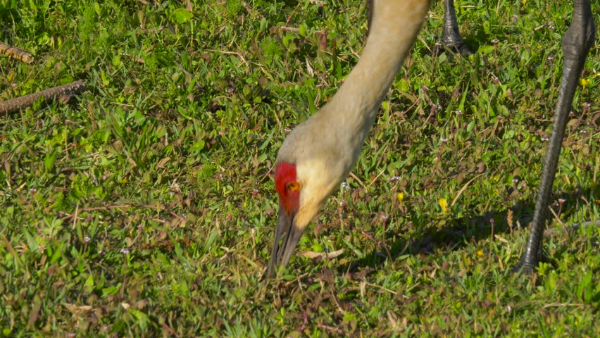 Sandhill crane head and neck against a green grass background. Sandhill Crane (Grus canadensis), Florida. Sandhill Crane looking for food. 4K resolution slow motion.