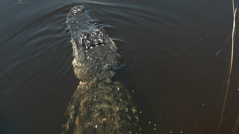 Close-up of alligator's head as it swims away from camera. As gator swims shot reveals entire body in wide shot. Great detail of alligator skin texture glistening in sunlight.
