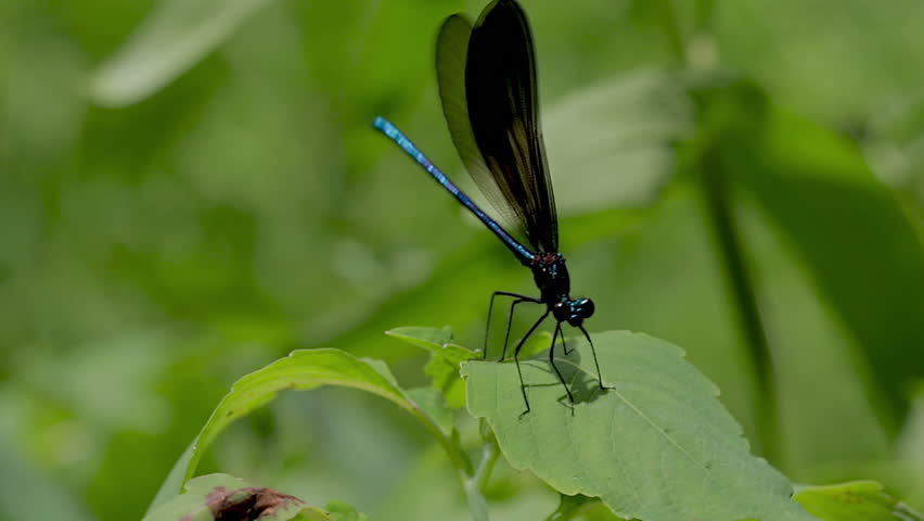 Panoramic view of a small dragonfly resting on a green leaf. Close up of an insect dragonfly flying away and landing again in the jungle.