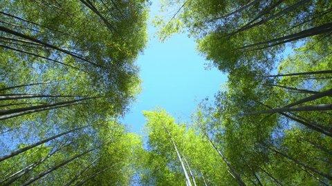 blue sky among bamboo foliage overhead, low angle shot