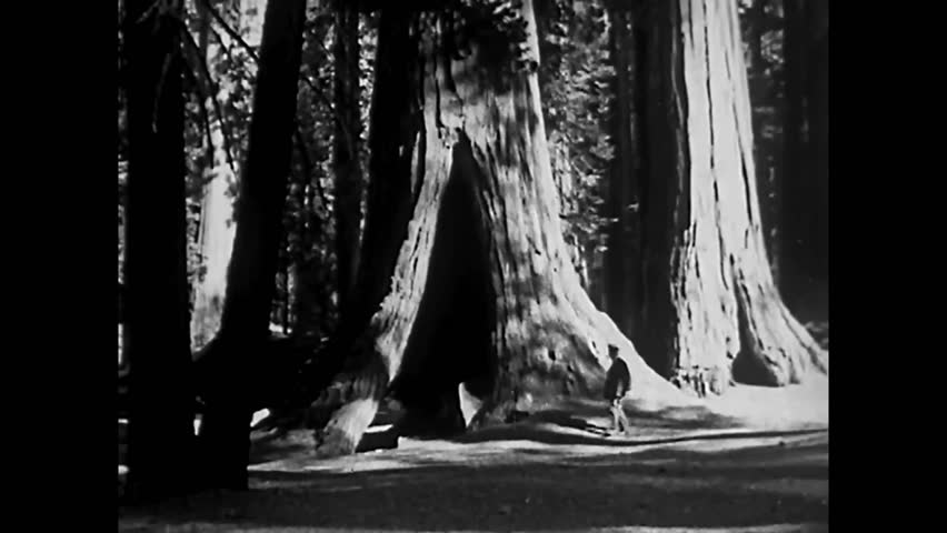 CIRCA 1933 - Mariposa Grove and the giant sequoias of Yosemite are shown.