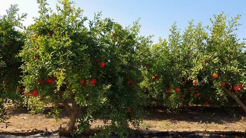Moving next to plantation full with Ripe colorful pomegranate fruit on trees branch, ready to be picked, israel