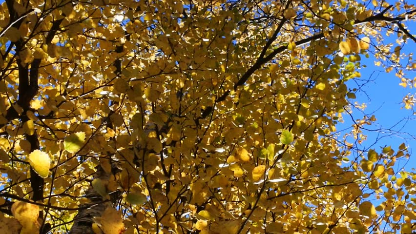 Middle autumn. All the leaves turned yellow at the birch. Shooting against a blue sky.