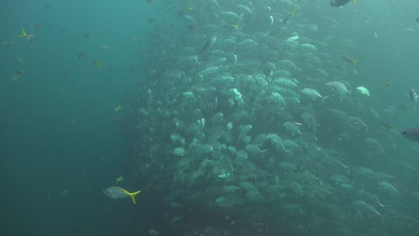 Massive school of bigeye trevally ( Caranx sexfasciatus) creates a funnel | Shutterstock HD Video #1013616791