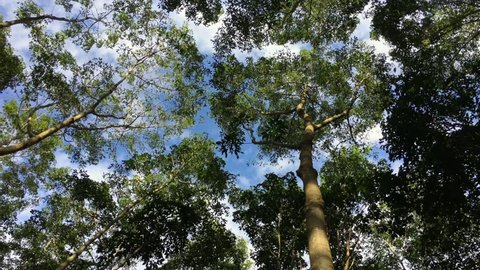 green rubber tree crowns against blue sky
