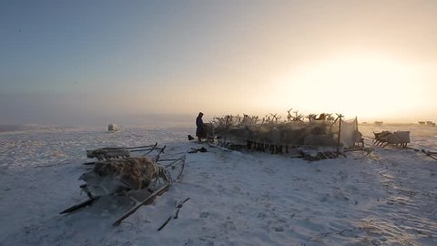 3 in 1. A herd of reindeers. Yamal, Russia. Pack 1.