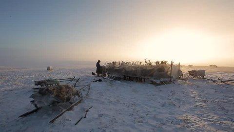 3 in 1. A herd of reindeers. Yamal, Russia. Pack 1.