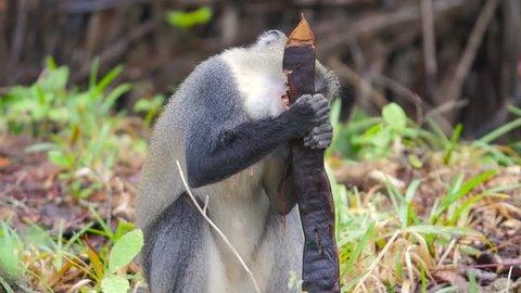 Diademed monkey eating 01
