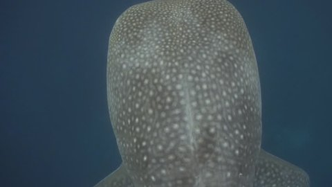 Close interaction with whaleshark