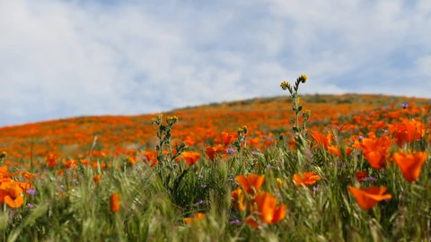 Exploring the superbloom of beautiful orange poppies at the Antelope Valley Poppy Reserve in California.