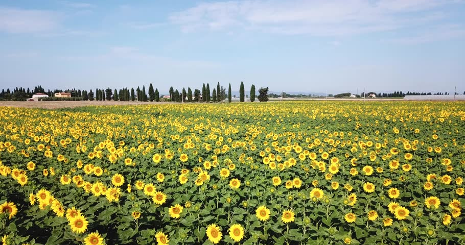 Piombino, Toscana, Italy. Aerial view of sunflowers field in rural area