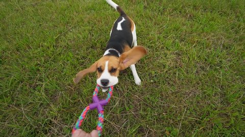 POV playing with funny Beagle, tug rope toy, slow motion shot. Doggy hold strong other side by chews, pull and shake head, long flappers fly around. High angle wide shot from owner perspective