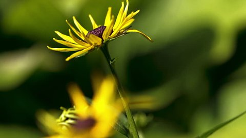 Pretty yellow flower blowing in the summer breeze. Black eyed susan in the garden with green blurred background. Artistic view of a flower.