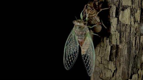 New born adult cicada. Cicada after molting and going through the metamorphosis process. Growing and transforming into adulthood. Winged insect close up macro view.