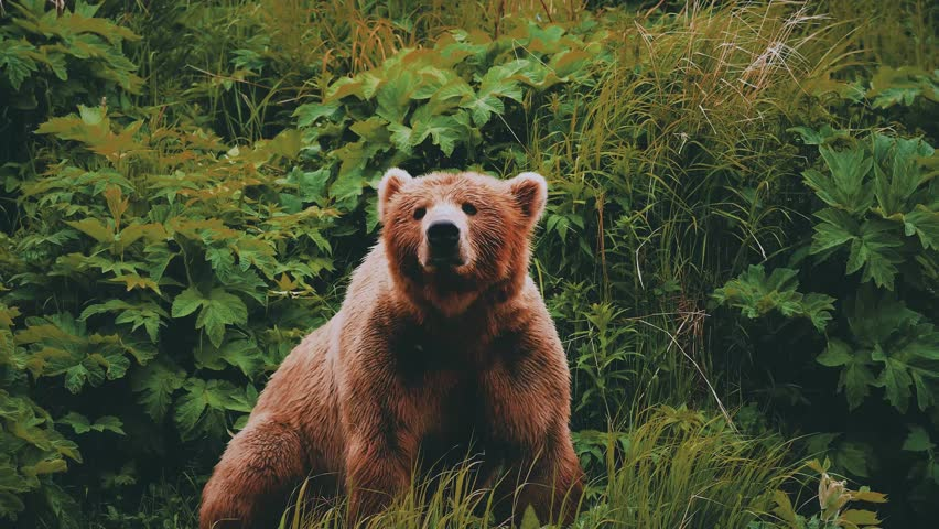 Kodiak Bear shaking water off. Brown Bear shaking water off after rain.