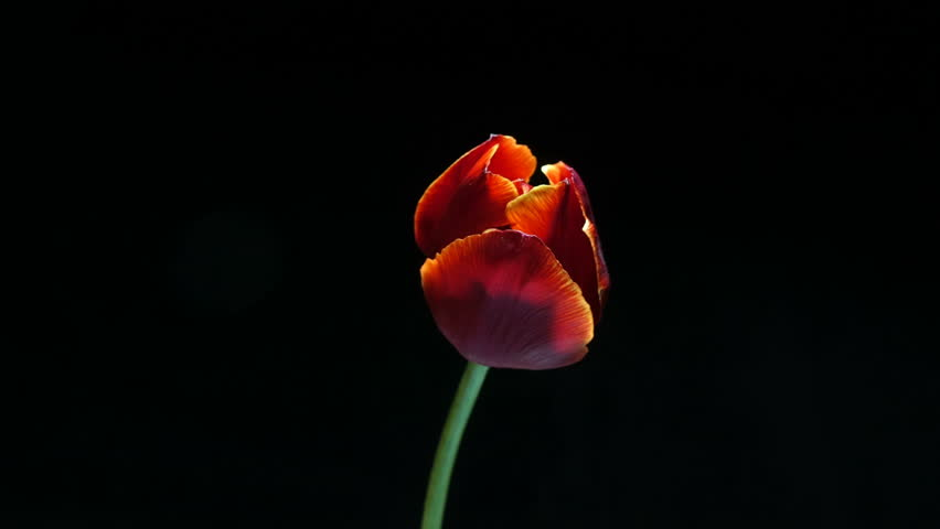 Timelapse of red tulip flower blooming on black background, alpha channel