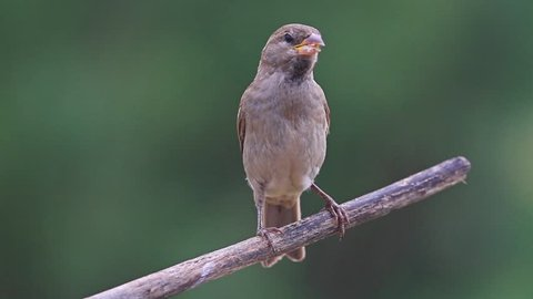 sparrow sits on a dry branch and cleans the beak