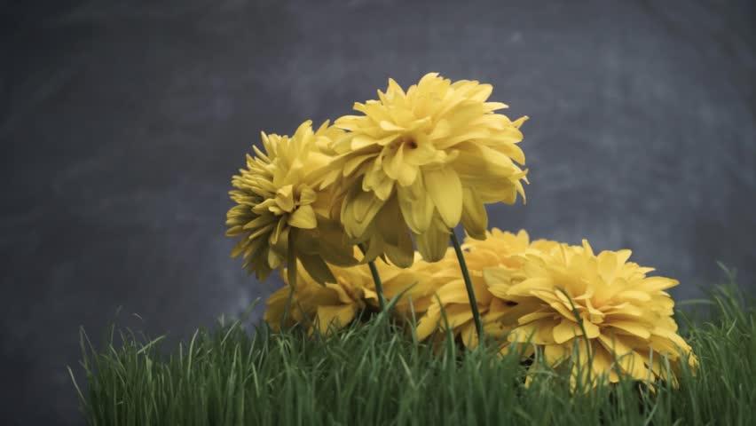 Yellow flowers on a grass, rotation 360 degrees. Beautiful dark background.   Shutterstock HD Video #1013965931