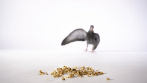 A hungry little bird on a white background runs up to the grain and eats 4K. The black pigeon flies to the food and pecks close-up. The gray dove goes to the millet closeup.