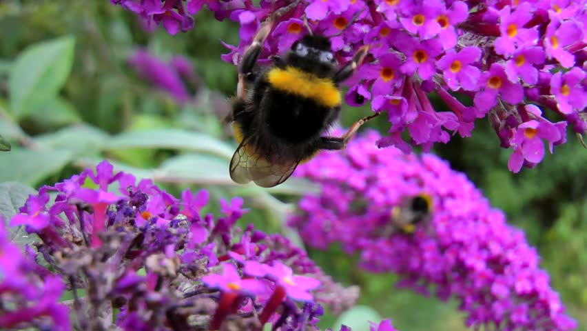 Close up of Buff Tailed Bumblebee on lilac bush filmed in UK