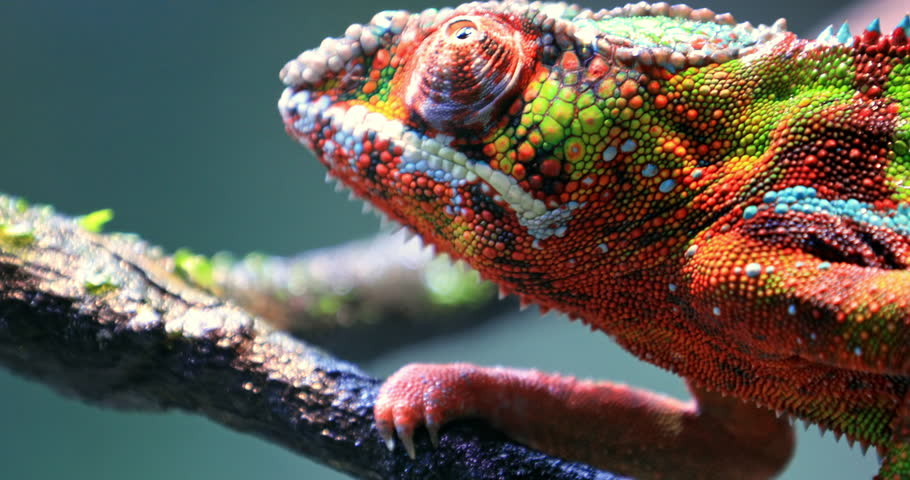 Close up macro view of detailed skin texture of colorful chameleon lizard | Shutterstock HD Video #1014050501