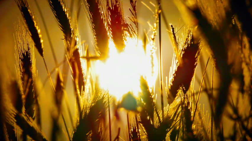 sunset grass in filed 4k #1014090791