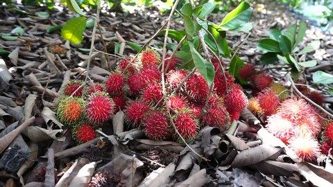 Red Rambutan fruit, ready to harvest.