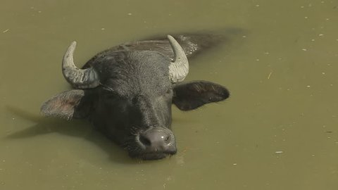 Huge horned male of wild buffalo bathes in a turbid water and close-up