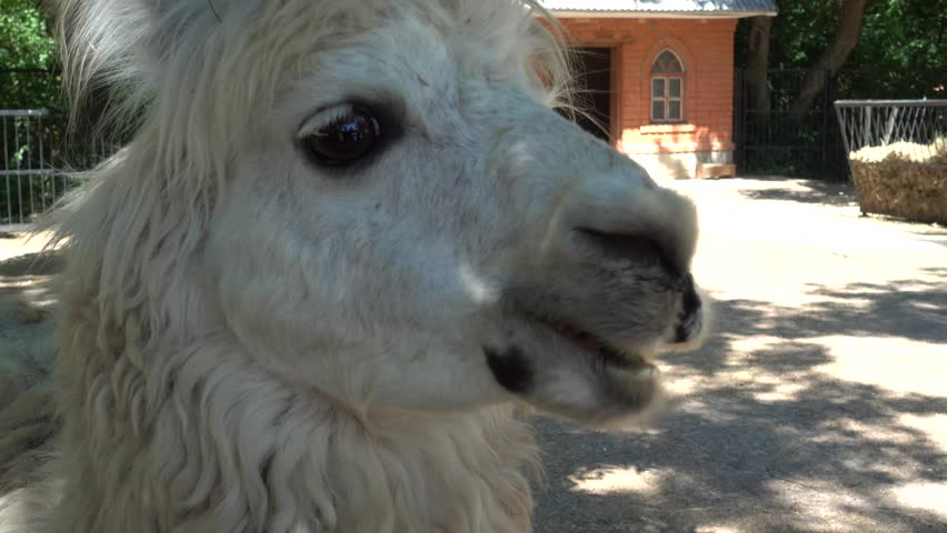 Kherson region, Ukraine - 3d of June 2018: 4K Tour to the Askania-Nova reserve - Close up Llama being treated with bread by the visitors