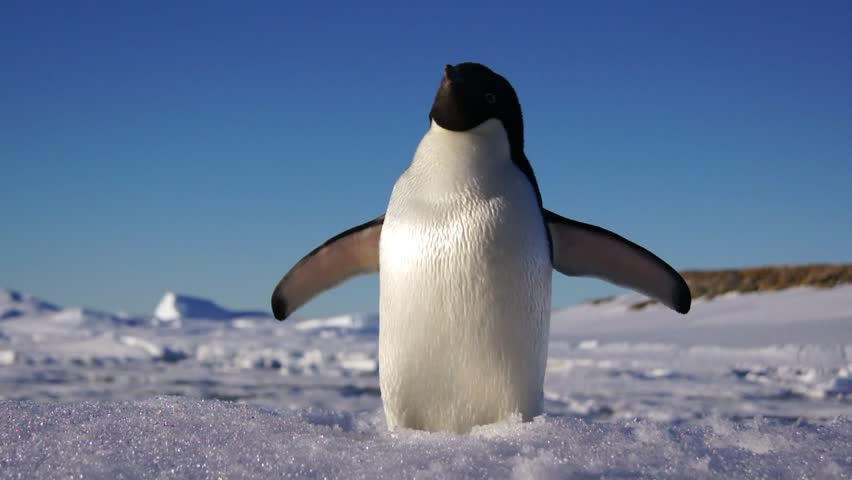 Close up view of the Adelie penguin on Antartctic coast | Shutterstock HD Video #1014153191