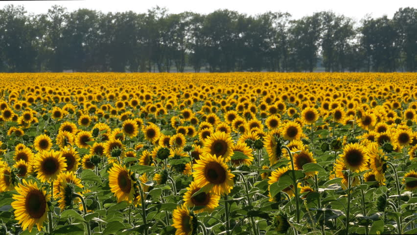 Sunflowers in the Field. Beautiful fields with sunflowers in the summer.