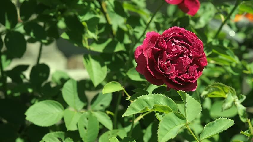 Claret red rose flowering in rosary close up. Deep red rose with green leaves in the garden. Flower blossoms in rosarium. Claret red rose-bud blooming. Blurred background, soft selective focus