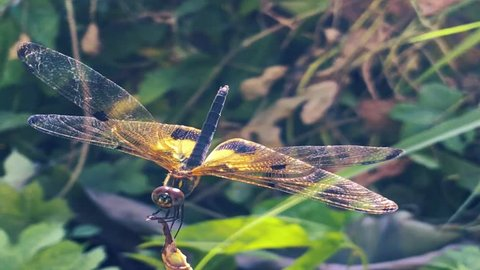 Close-up Yellow dragonfly.Slow motion beautiful yellow black dragonfly flying catch on tree. Dragonfly is characterize large multifaceted eyes two pairs of strong transparent wings colored patches.