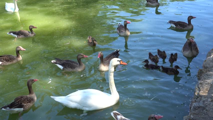 Kherson region, Ukraine - 3d of June 2018: 4K Tour to the Askania-Nova reserve -  White swans and ducks in the pond