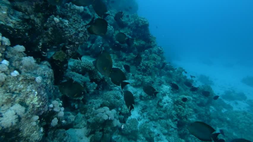 school of Yellowfin Surgeonfish Acanthurus xanthopterus swim near coral reef (Underwater shot, 4K / 60fps)