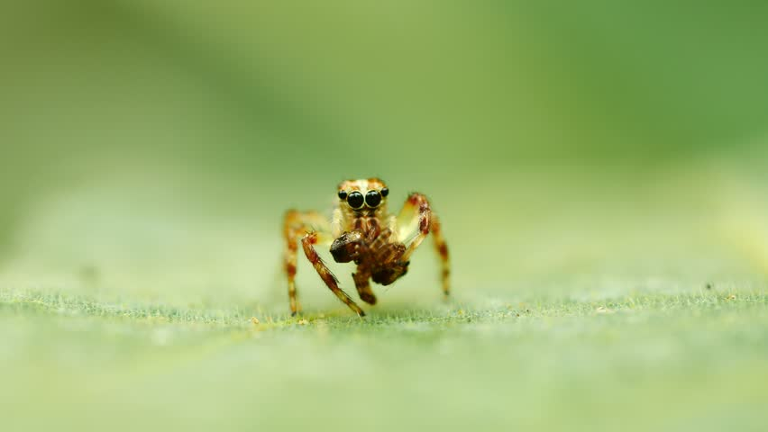 Jumping spider in action (eating) on green leaf. | Shutterstock HD Video #1014366671