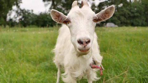 A young goat grazes on a spring meadow. Close-up of a goat. Goat posing on camera