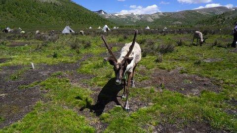 Reindeers on an summer morning. in Tsaatan village, Mongolia. Taken on 19 June, 2018.