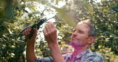 Old gardener is cutting the branch of apple tree with the help of pruner. The man is enjoying the branch in sunlights. RED camera shot.