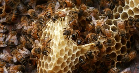 European Honey Bee, apis mellifera, Bees on a wild Ray, Bees working on Alveolus, Wild Bee Hive in Normandy, Real Time 4K