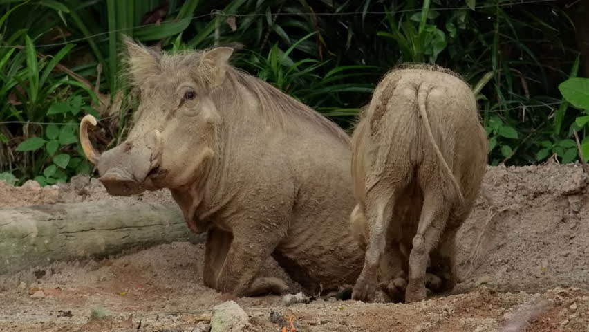 Desert warthog stands then sits on ground while other one walks beside against plants on background. Pair of wild African animals of pig family at zoo. Exotic mammals with tusks in natural habitat.
