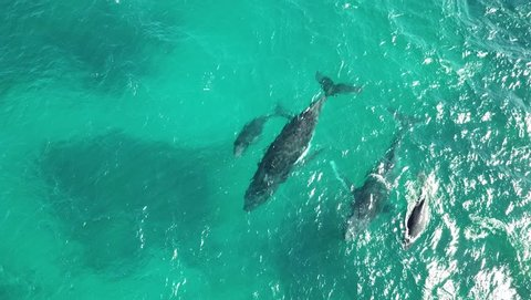Humpback whales migrating. Two mothers and calfs in Western Australia.