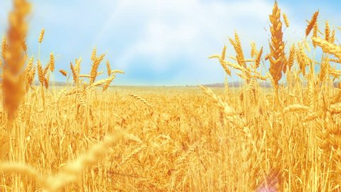 Wheat Field under blue sky in sunny summer day.  Golden wheat field blowing by the wind.  Nature landscape. Peaceful scene