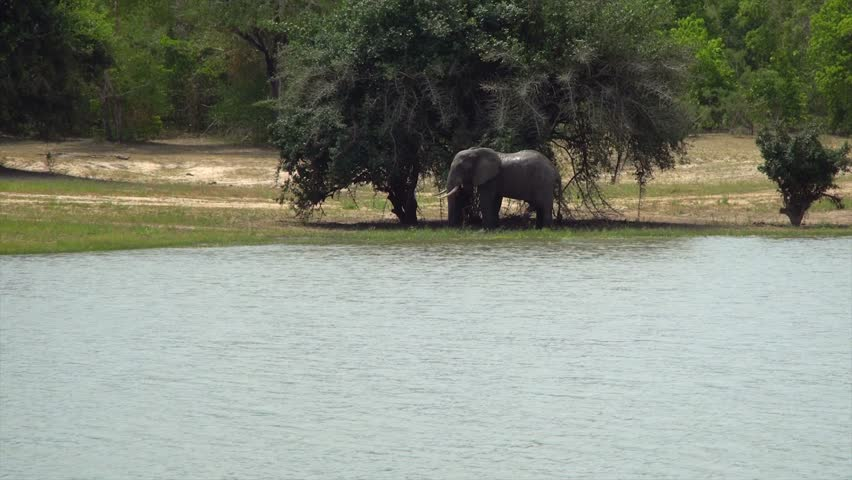 African elephant in the Selous National Park, Tanzania