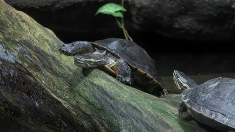 Turtles climbing on tree trunk protruded from pond and basking in sun. Pair of wild freshwater reptiles sitting on snag or piece of wood sticking out of water surface. Beautiful wildlife scene.