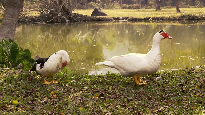 Pair of free range muscovy ducks at river.