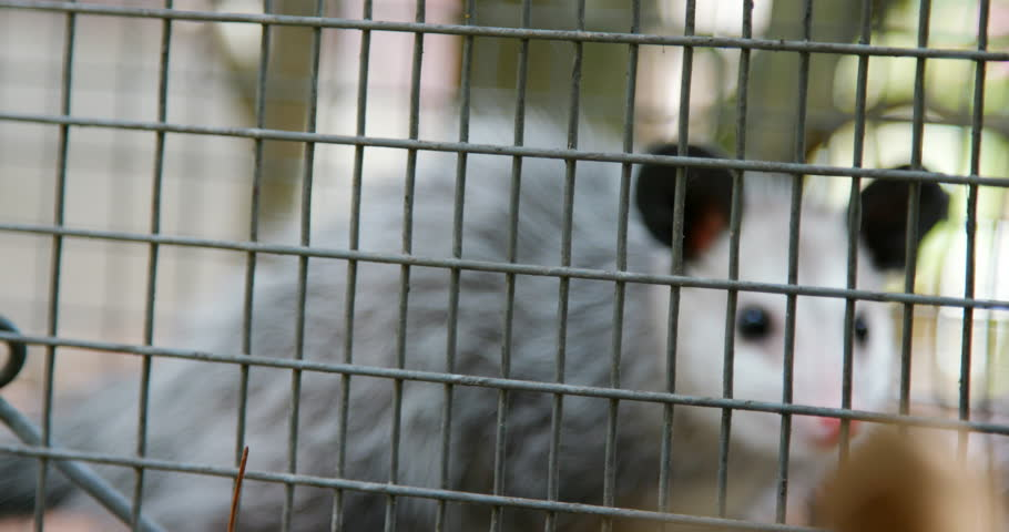 possum caught in a trap in a suburban neighborhood by pest control officers