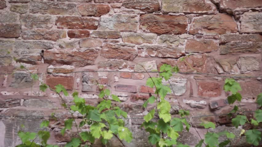Gloomy red brick wall background with green ivy growing in the foreground